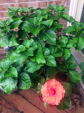 Hidden Valley Hibiscus Wilt Disease