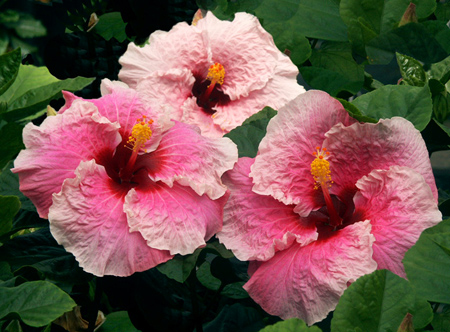Hibiscus Belle Du Jour