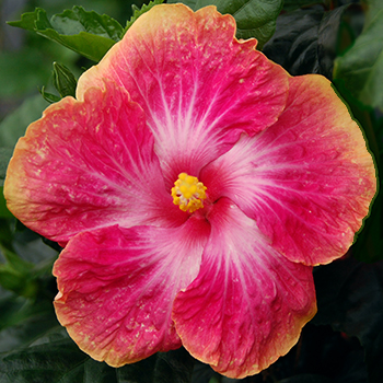 Exotic Hibiscus 'Blush of Youth'