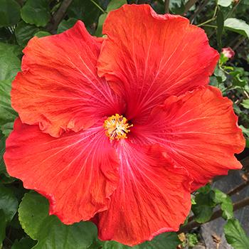 Exotic Hibiscus ''Colossus