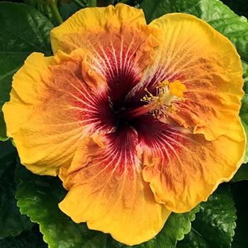 Exotic Hibiscus ''Death Valley