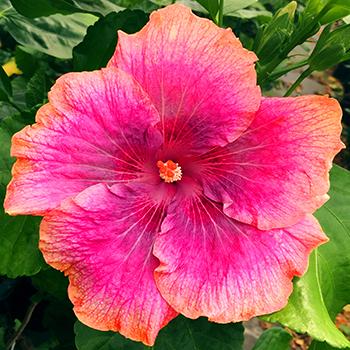 Exotic Hibiscus ''Delicate