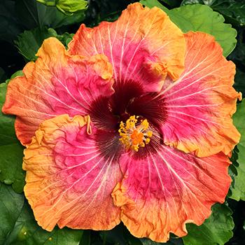 Exotic Hibiscus ''Desert Romance