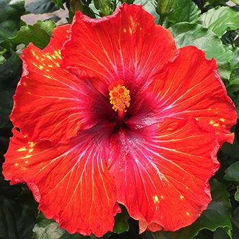 Exotic Hibiscus ''Enchilada
