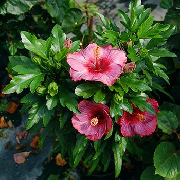 Exotic Hibiscus 'White Water'