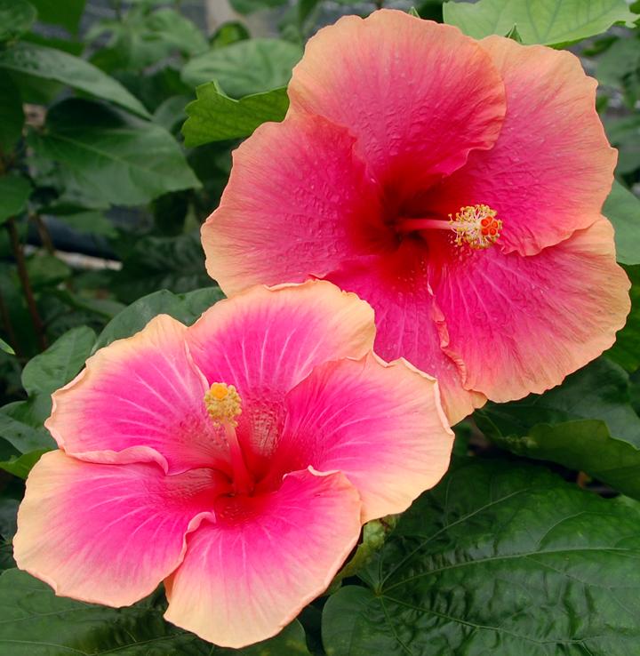 Exotic Hibiscus 'Flirtatious'