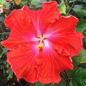 Exotic Hibiscus ''Gargantuan