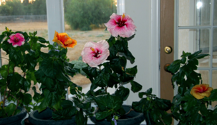 Hibiscus Flowers Kept Indoors