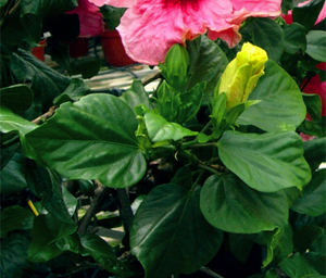 Healthy Hibiscus Leaves