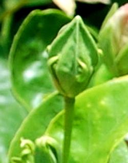 Hidden Valley Hibiscus Gall Midge