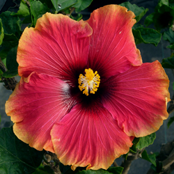 Hidden Valley Hibiscus Hibiscus Pigments Why Do Hibiscus Flowers