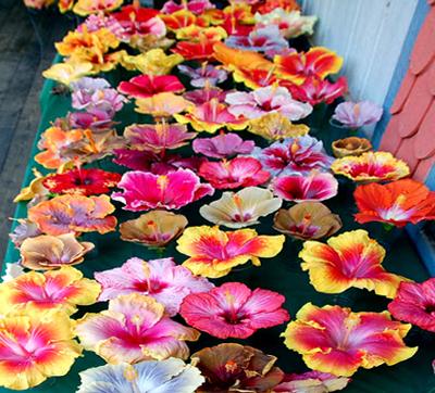 Hidden Valley Hibiscus Hibiscus Types What Kind Of Hibiscus