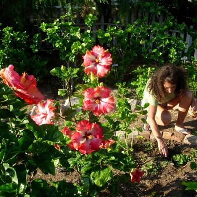 Hibiscus Clean up Garden Soil