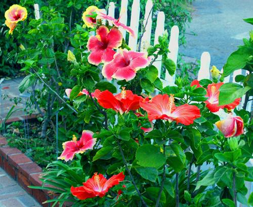 Lush Hibiscus Garden