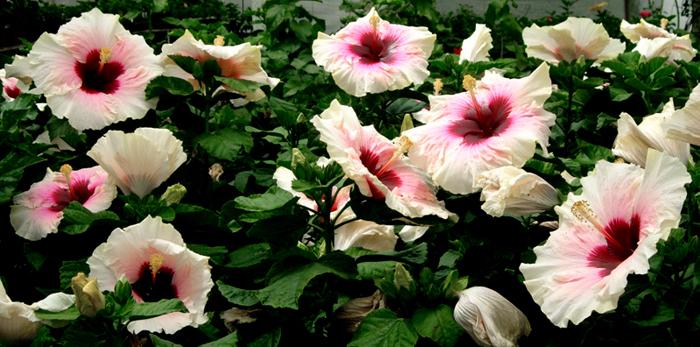 Hidden Valley Hibiscus Watering Hibiscus
