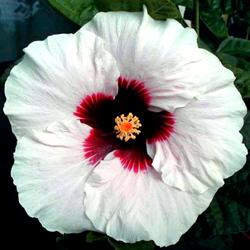 Hidden Valley Hibiscus Hibiscus Pigments Why Do Hibiscus Flowers