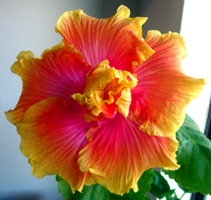 how to grow hibiscus plant from seeds