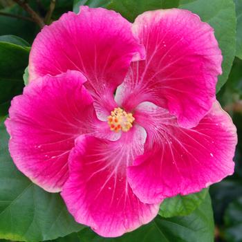 Hidden valley hibiscus hibiscus jolie hibiscus jolie mightylinksfo