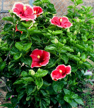 Hibiscus 'Living Legend'