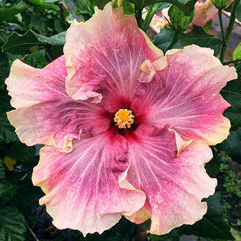 Exotic Hibiscus ''Marie Antoinette