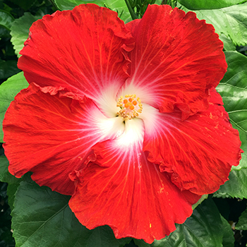 Exotic Hibiscus ''Orange Glow