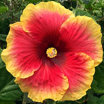 Exotic Hibiscus ''Over the Top
