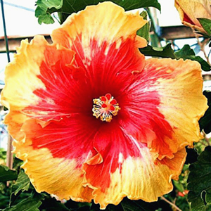 Hibiscus 'Palm Springs'