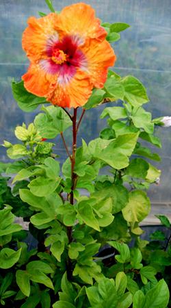 Hidden Valley Hibiscus Pruning Hibiscus