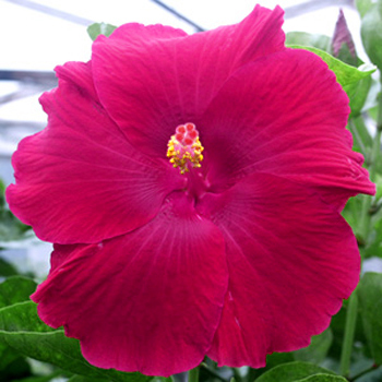 Tropical Hibiscus 'Scarlet Beauty'