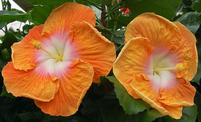 Exotic Hibiscus 'Solar Energy'