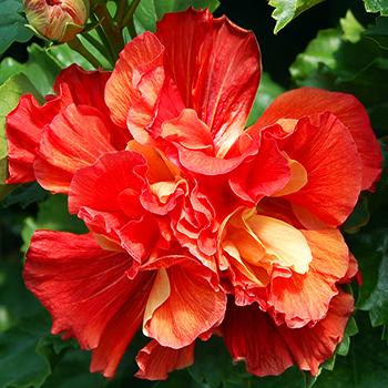 Exotic Hibiscus 'Spanish Dancer'