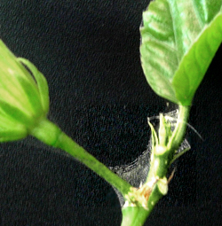 Hidden Valley Hibiscus Spider Mites
