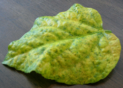 Leaf stippled by spider mites
