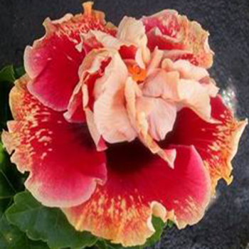 Exotic Hibiscus ''Tahitian Spotted Sun