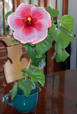 Hibiscus 'Torch Song'