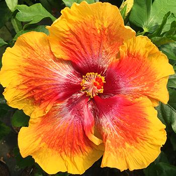 Exotic Hibiscus ''Tropical Spritz