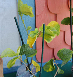 Yellowing Leaves That Fall Off Dark Spots In Green A Hibiscus Is Outside Winter Chill And Rain