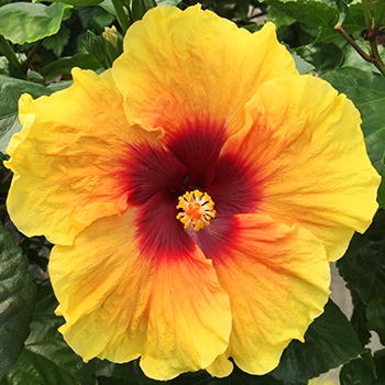 Exotic Hibiscus ''Yellow Fantasy