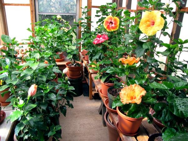 hidden valley hibiscus worldwide hibiscus garden in south arizona. Black Bedroom Furniture Sets. Home Design Ideas