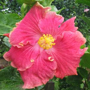 Hidden Valley Hibiscus Worldwide Hibiscus Garden In Australia