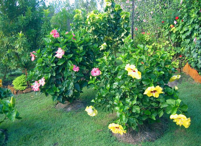 hidden valley hibiscus worldwide hibiscus garden in australia. Black Bedroom Furniture Sets. Home Design Ideas