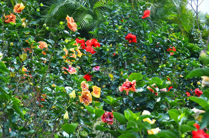 Beautiful gardens of the world - Hidden Valley Hibiscus Worldwide Hibiscus Garden In The Costa Rica