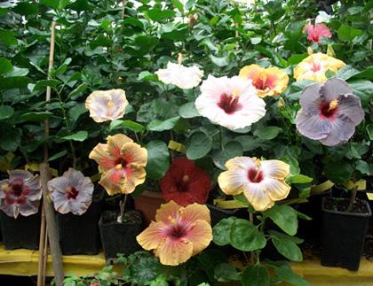 Giant Hibiscus 'Fireball' | Bakker.com