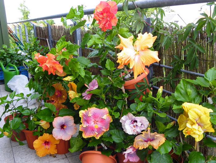 hidden valley hibiscus worldwide hibiscus garden in dresden germany. Black Bedroom Furniture Sets. Home Design Ideas