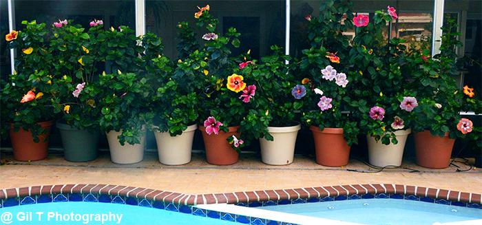 Hidden Valley Hibiscus Worldwide Hibiscus Garden In The Florida