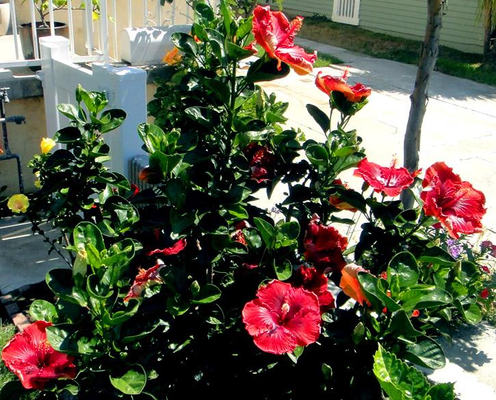 Hidden Valley Hibiscus Worldwide ~ Hibiscus Garden in Hollywood
