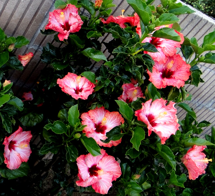 hidden valley hibiscus worldwide hibiscus garden in hollywood. Black Bedroom Furniture Sets. Home Design Ideas