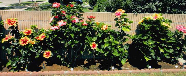 Hidden Valley Hibiscus Worldwide Hibiscus Garden In Hollywood