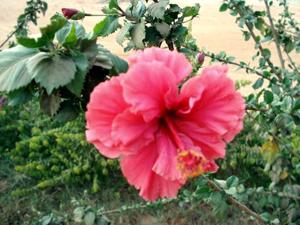 Hidden Valley Hibiscus Worldwide Hibiscus Garden In India