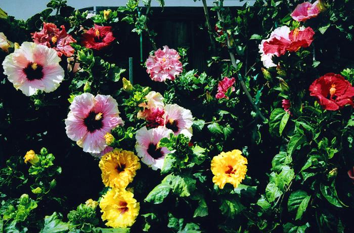 hidden valley hibiscus worldwide hibiscus garden in southern california. Black Bedroom Furniture Sets. Home Design Ideas
